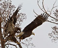Bald Eagle by Jim Fetterer