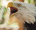 Bald Eagle squawk by Dawn Wilson